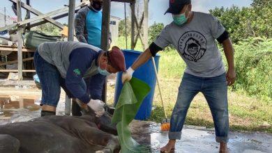 Photo of Dimasa Pandemi, RT 65 Lakukan Penyembelihan Hewan Qurban Sebanyak 6 Ekor Sapi